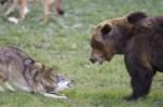 wolf-vs-bear